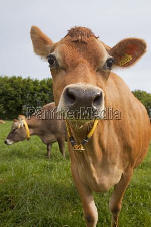 jersey cow jersey st helier channel