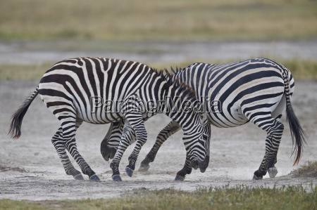 two common zebra plains zebra burchells