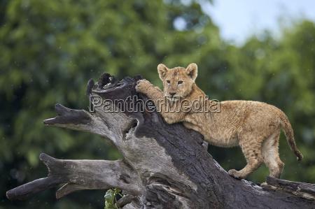 lion panthera leo cub on a