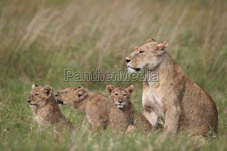 lion panthera leo female and three