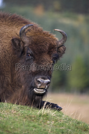 european bison captive at highland wildlife