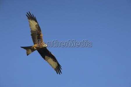 red kite milvus milvus in flight
