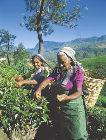 plucking tea tea plantation nuwara eliya