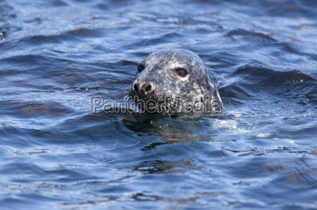 grey seal halichoerus grypus farne islands
