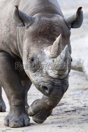 black rhino south africa africa