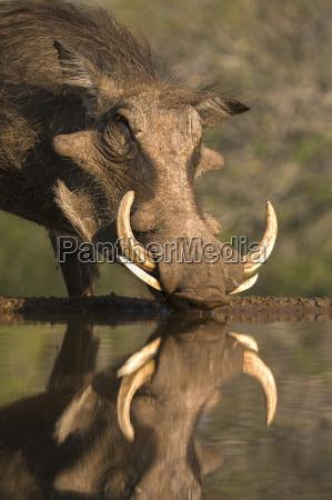 warthog phacochoerus aethiopicus in wasser wildreservat