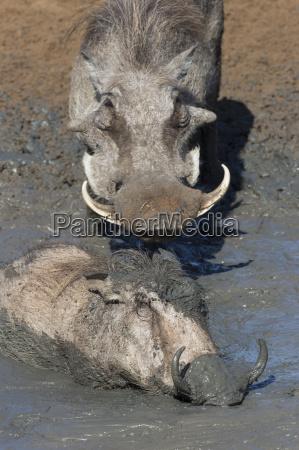 warthog phacochoerus aethiopicus schlammbaden mkhuze wildreservat