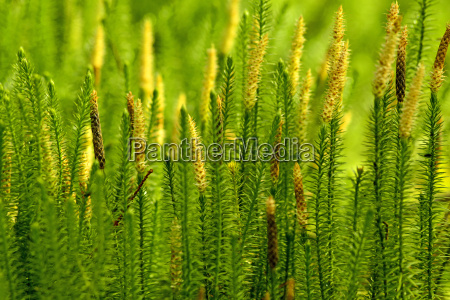 huperzia heilpflanze gegen alzheimer