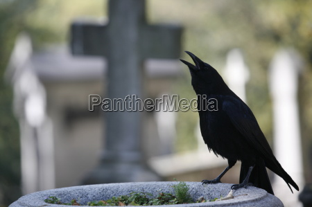 crow on a grave paris ile