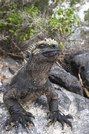 tier reptil wild eidechse schwarze schwarz