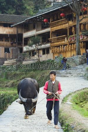 farmer walking with his water buffalo