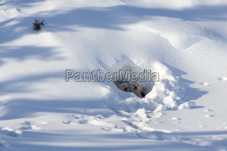 polar bear ursus maritimus cubs looking