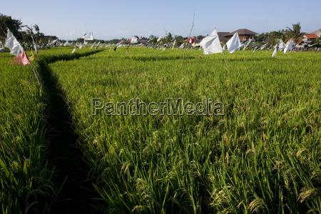 rice field kerobokan bali indonesia southeast