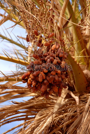 dates on a date palm mafo