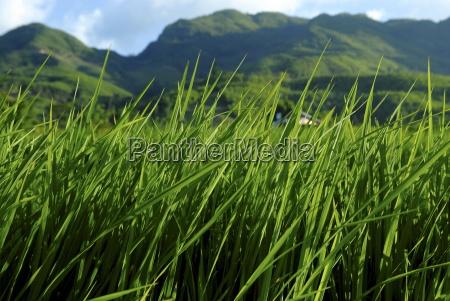 rice field near sapa sapa vietnam