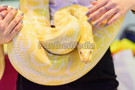 albino burmese python