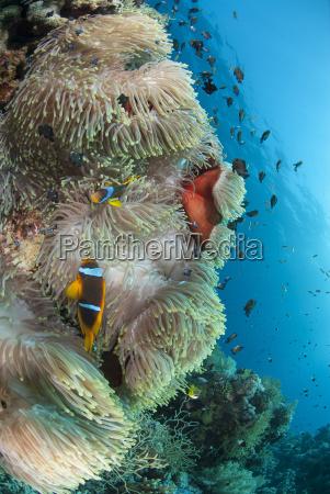 colony of agnificent anemone heteractis magnifica