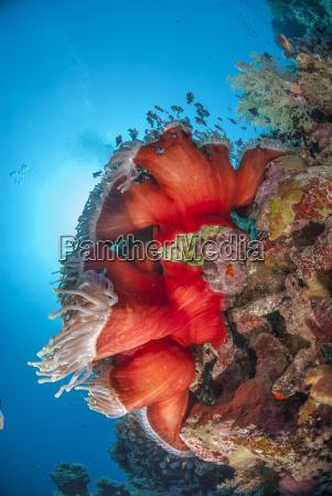 magnificent anemone heteractis magnifica ras mohammed
