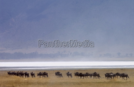herd of blue wildebeest ngorongoro crater