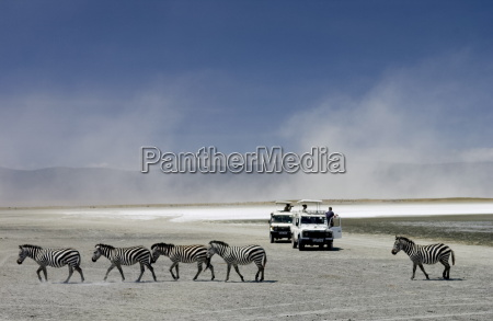 a herd of common plains zebra