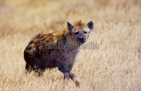 spotted hyena walking in grassland ngorongoro