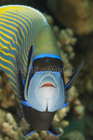 emperor angelfish pomacanthus imperator close up