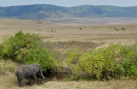 elefant, trinkt, im, ngorongoro-krater, tansania - 20789751