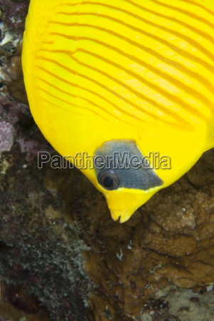 masked butterfly fish chaetodon semilarvatus close