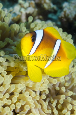 red sea anemone fish amphiprion bicinctus
