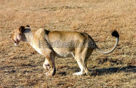 eine loewin jagt grumeti tansania ostafrika