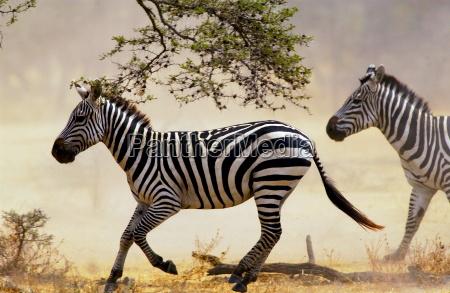 common plains zebra grants grumeti tanzania