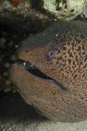 giant moray gymnothorax javanicus close up