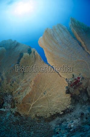 giant sea fan coral gorgonian fan