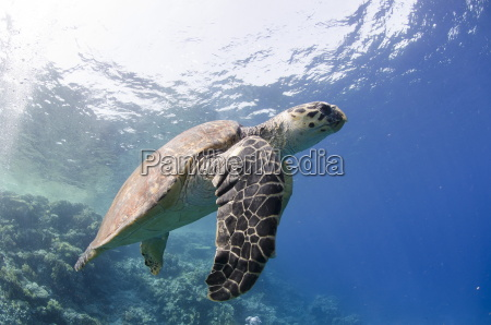 the critically endangered hawksbill turtle eretmochelys