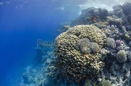 tropical coral reef scene ras mohammed
