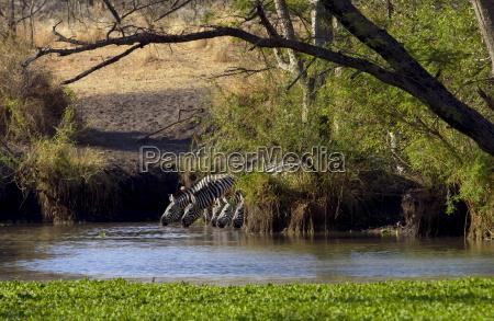 common plains zebra grants drinking