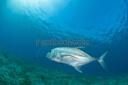 giant trevally caranx ignobilis swimming above