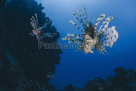 common lionfish pterois miles front view