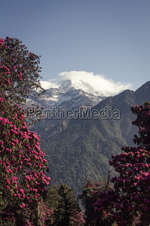 annapurna south 7219m framed by blossoming