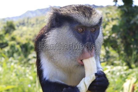 mona affen cercopithecus mona isst banane