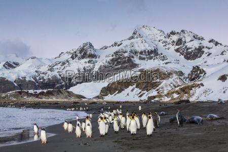 king penguins aptenodytes patagonicus peggoty bluff