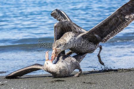 northern giant petrel macronectes halli fighting