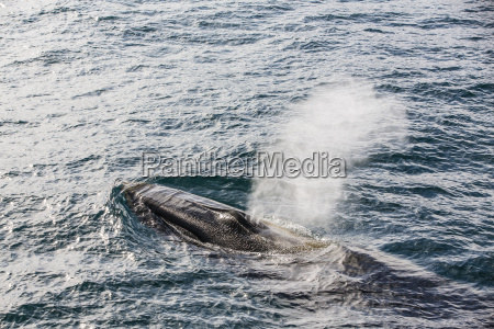 adult fin whale balaenoptera physalus sorkapp