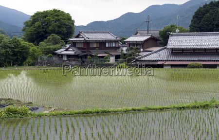 newly planted rice seedlings in a