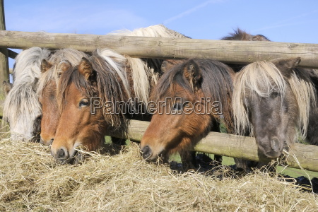 reihe von fuenf amerikanischen miniaturpferden equus