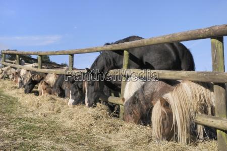 reihe von miniaturpferden equus caballus und