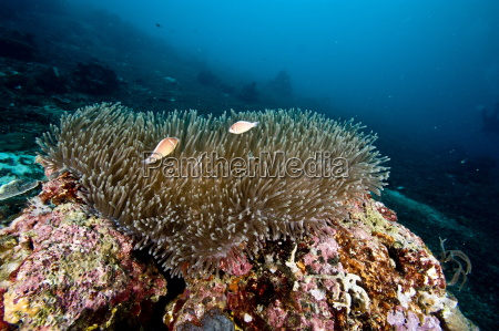 anemone reef scene at nalusuan marine