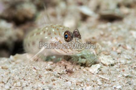 gold speckled shrimp goby ctenogobiops pomastictus