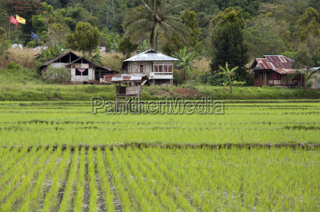 rice paddy field sulawesi indonesia southeast