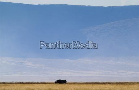 rhinoceros with crater rim behind ngorngoro